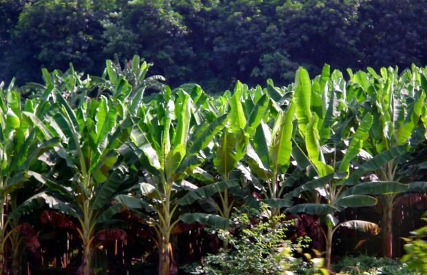 Banana_Farm